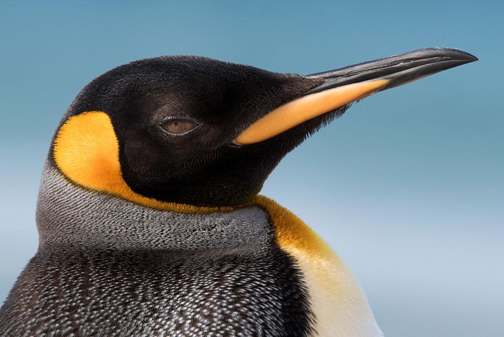 King Penguin - Thumbnail