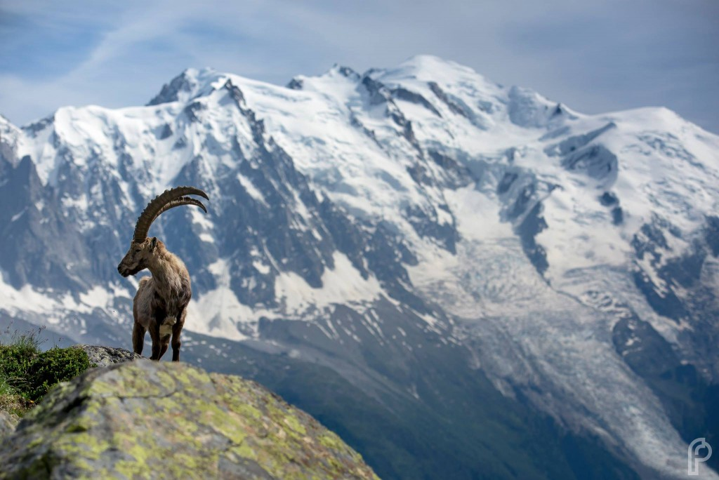 A large male mountain Ibex standing on rock in front of Mt. Blanc in Chamonix