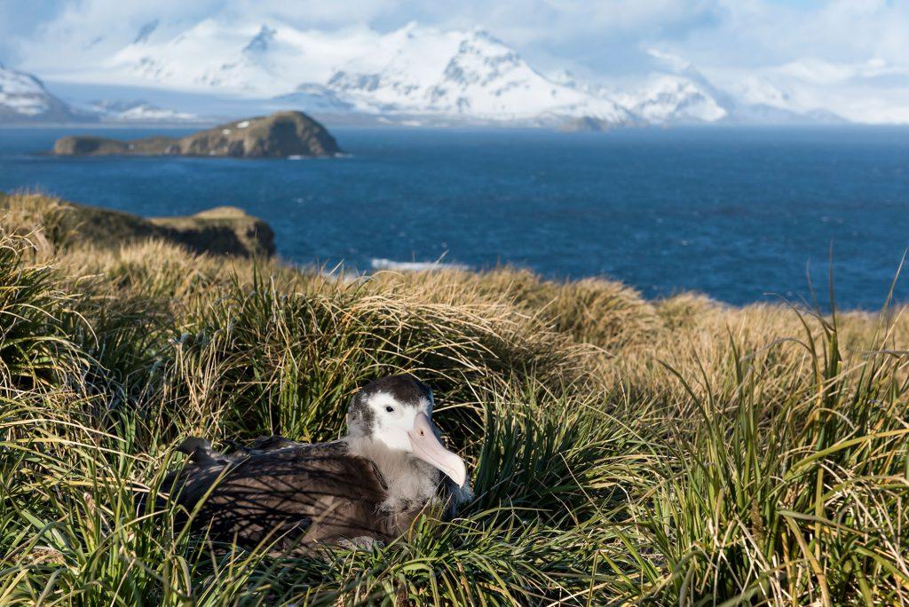 Wandering albatross chick image