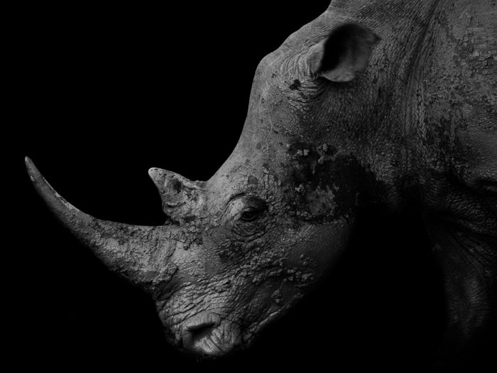 Prehistoric beauty - White rhino, South Africa