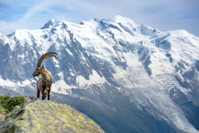 The King of the Alps, Ibex, Chamonix Mt. Blanc