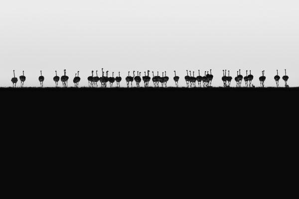 Ostrich Horizon - Winning image from Fujifilm Award for Innovation 2018